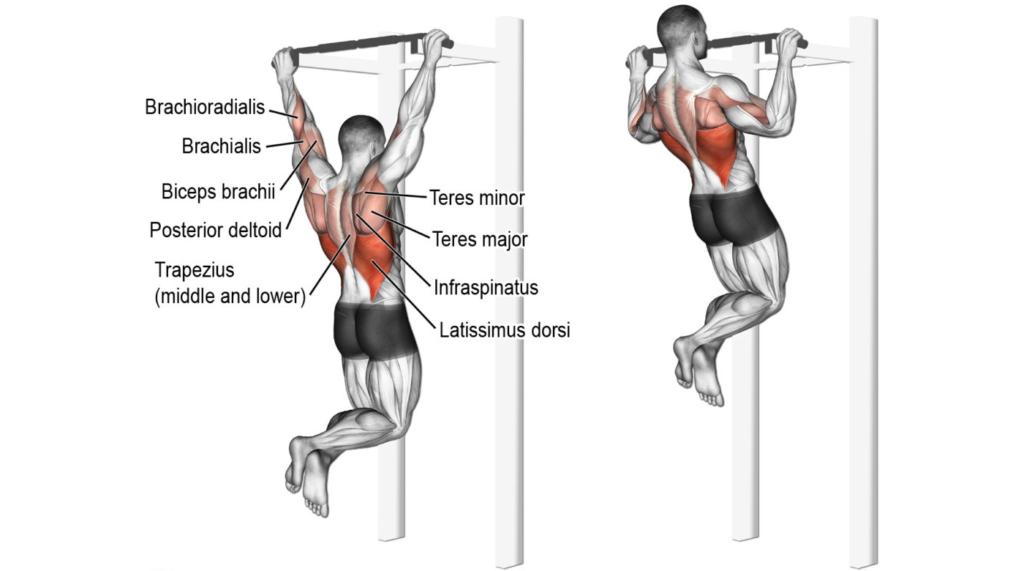 Mięśnie zaangażowane w podciąganie na drążku