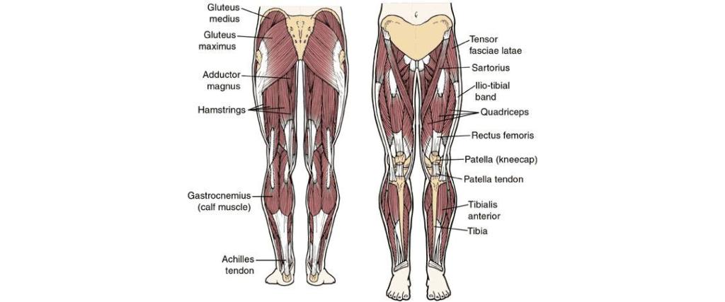 Jak dobierać ćwiczenia na nogi? Anatomia mięśni nóg